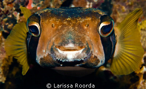 Diodon liturosus.  Black-blotched porcupinefish. by Larissa Roorda 